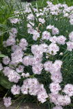 Loosely tufted plant of maiden pink in bloom. Loosely tufted plant of maiden pink in full bloom Stock Image