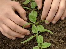 Loosen spinach seedlings. Hands loosen young spinach seedlings Royalty Free Stock Photo