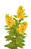 Loosestrife Stock Photo