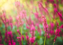 Loosestrife Flower Royalty Free Stock Images