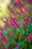 Loosestrife Flower Royalty Free Stock Image