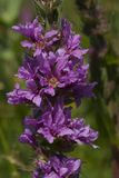 Loosestrife, Grote kattenstaart, Lythrum salicaria obrazy royalty free