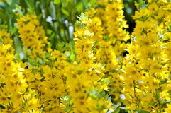 Loosestrife (Lysimachia punctata). Lysimachia punctata (Garden Loosestrife, Yellow Loosestrife or Garden Yellow Loosestrife), shallow DOF Stock Images