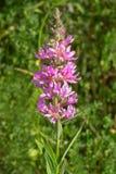 loosestrife lythrum purpur salicaria obraz stock