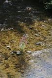 Loosestrife, Lythrum Salicaria, in a brook Stock Photos