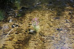 Loosestrife, Lythrum Salicaria, in a brook Stock Photo