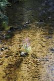 Loosestrife, Lythrum Salicaria, in a brook. Loosestrife, Lythrum Salicaria, in a little brook Stock Images