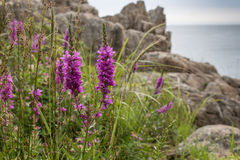Loosestrife plant. Close-up photography of loosestrife and other plants on the seashore Stock Photos