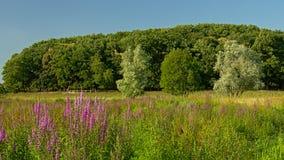 Loosetrife Puprle цветет, в lalndscape болота в Kalkense meersen заповедник, Фландрия стоковая фотография rf