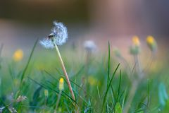 Loosing the seeds. Dandelion is slowly loosing it`s seeds as the light breeze is blowing in late spring on the meadow Royalty Free Stock Image