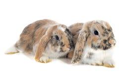 Lop兔子 免版税库存图片