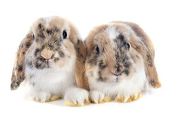 Lop兔子 库存图片