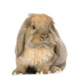 lop кролик стоковые изображения rf
