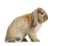 lop кролик Стоковое Фото