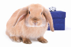 Lop bunny and a blue gift box stock photo