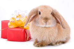 Lop bunny and a gift box Stock Photo