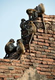Lop Buri, Thailand: Monkeys at Wat Prang Sam Yot Stock Photo