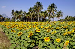 Lop Buri, Thailand: Sunflower Field Stock Images