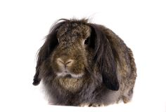 Lop-eared brown rabbit Stock Image