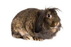 Lop-eared brown rabbit Stock Photo