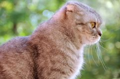Lop-eared cat Royalty Free Stock Images