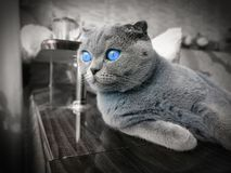 Lop-eared cat with blue eyes stock photography