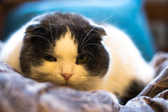 Lop-eared cat Royalty Free Stock Photos