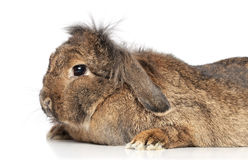Lop-eared fluffy rabbit Stock Photography
