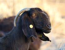 Lop-eared goat portrait Stock Image