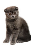 Lop-eared kitten Royalty Free Stock Image