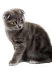 Lop-eared kitten royalty free stock photography