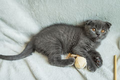 Lop-eared kitten plays. Scotland cat, kitten. Little playful kitten Royalty Free Stock Photography