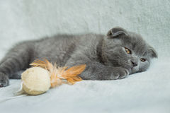 Lop-eared kitten plays. Scotland cat, kitten. Little playful kitten Stock Photos