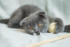 Lop-eared kitten plays. Scotland cat, kitten. Little playful kitten Royalty Free Stock Photos