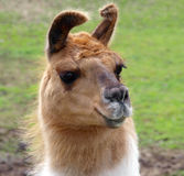 Lop Eared Llama Stock Images
