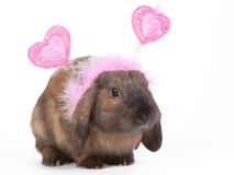 Lop eared rabbit. Brown lop eared dwarf rabbit wearing pink hearts headband, isolated Stock Image