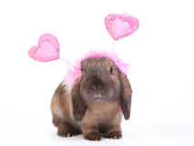 Lop eared rabbit Royalty Free Stock Images