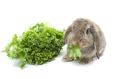 Lop eared Rabbit Stock Photos