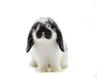 Lop-eared rabbit Stock Photography