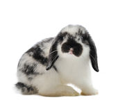 Lop-eared rabbit. Isolated on white Royalty Free Stock Photos