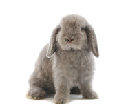 Lop-eared rabbit. Isolated on white Stock Photo