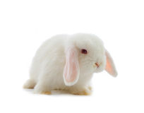 Lop-eared rabbit. Isolated on white Stock Image