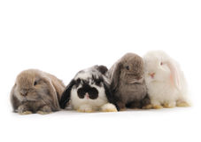 Lop-eared rabbit. Isolated on white Royalty Free Stock Photo