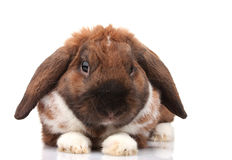 Lop-eared rabbit Royalty Free Stock Image