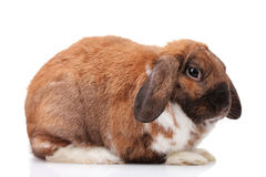 Lop-eared rabbit Royalty Free Stock Photography