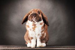 Lop-eared rabbit Stock Photos