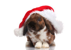 Lop-eared rabbit in cap of Santa Claus Stock Image