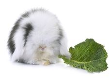 Lop-eared  rabbit in studio. Lop-eared  rabbit in front of white background Stock Images