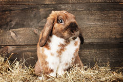 Lop-eared rabbit in a haystack. On wooden background Royalty Free Stock Images