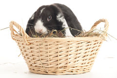 Lop-eared rabbit in a basket. Lop-eared rabbit in a reed basket with straw isolated on white Royalty Free Stock Photo